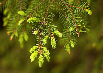 Austreibender Nadelbaum
