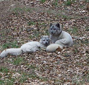 Polarfuchspärchen